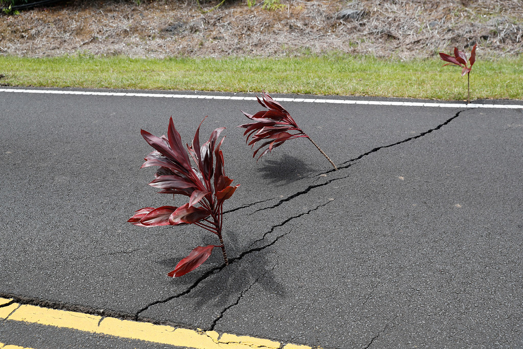 . Ti leaves on branches stand as a sacred offering in the cracks in roads at the Leilani Estates, Saturday, May 5, 2018, in Pahoa, Hawaii. The Hawaiian Volcanoes Observatory said eight volcanic vents opened in the Big Island residential neighborhood of Leilani Estates since Thursday.  (AP Photo/Marco Garcia)