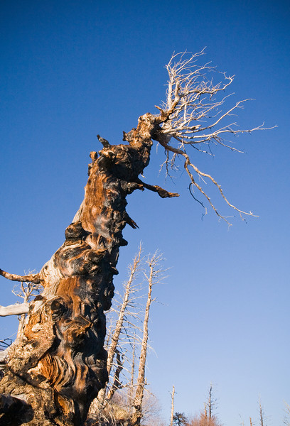 Gnarled tree on Sugarloaf Mountain in the foothills of Boulder