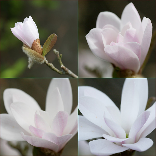 Magnolia Collage-850472844-O.jpg