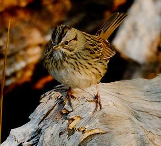 Lincoln's Sparrow Melospiza lincolnii