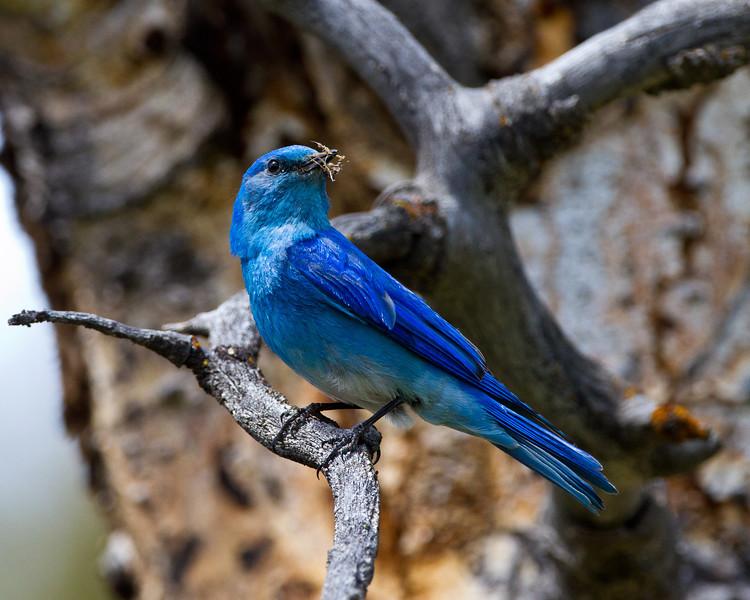 0294Bluebird.jpg