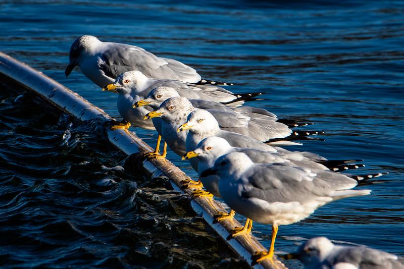 2.24.19 - Prairie Creek Marina: Ring-Billed Gulls
