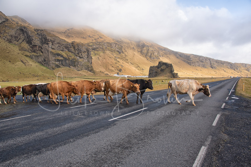 Cows-3.jpg