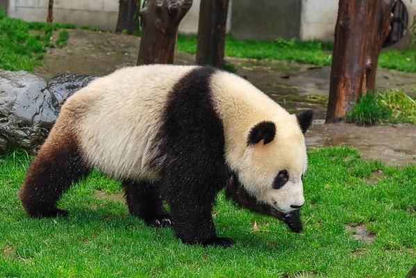 Pandas - Wolong Research Center