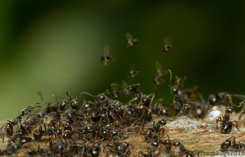 Dolichoderus ants defend themselves from parasitic Phorid flies (Chiang Mai, Thailand).