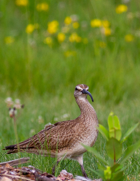Whimbrel summering on Park Point Duluth MN -0284.jpg