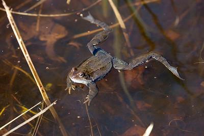 Grodor – Frogs