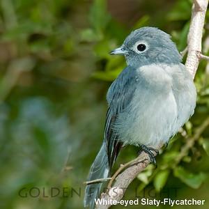 White-eyed Slaty-Flycatcher, Kenya