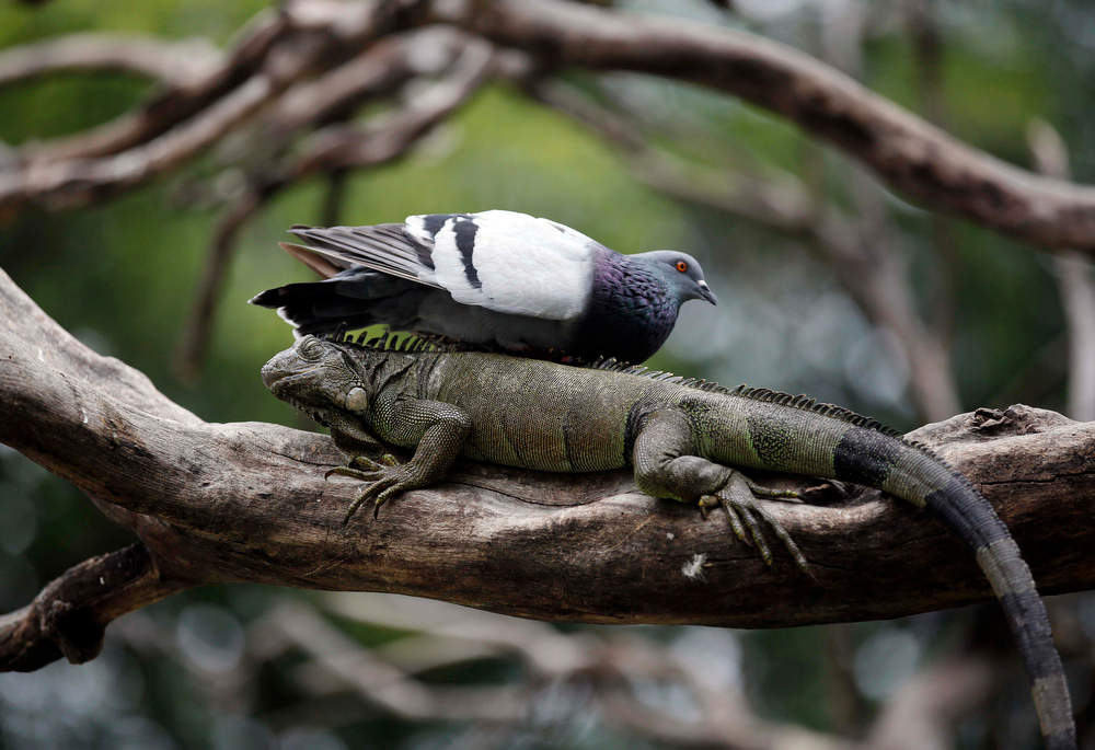 . A pigeon rests on a wild iguana in a tree inside Seminario Park in Guayaquil, Ecuador, Thursday, April 3, 2014. Pigeons coexist with the wild iguanas at this park in the middle of the city surrounded by savannah. (AP Photo/Dolores Ochoa)