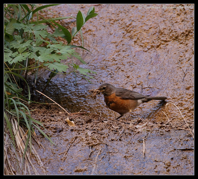 American Robin collecting nesting material, Zion National Park, Utah, May 2010