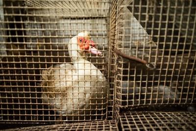 Canards reproducteurs foie gras Sud Ouest - 2020