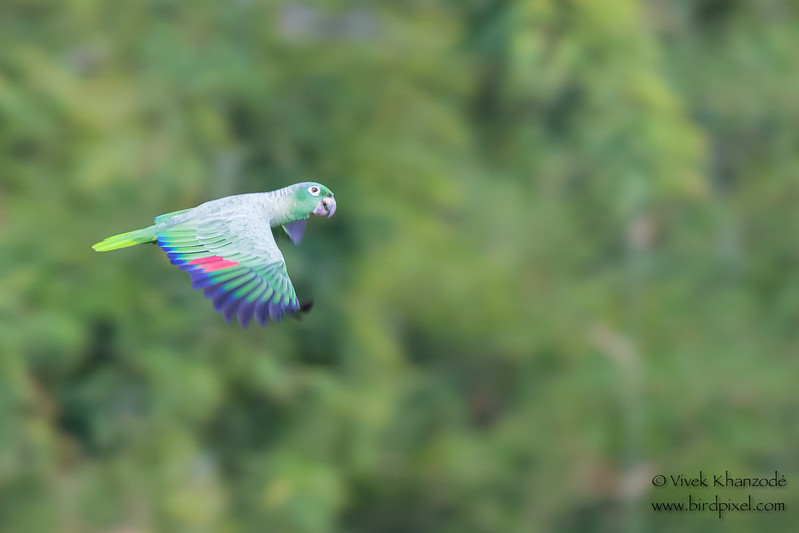 Mealy Parrot in flight - Tambo Blanquillo Clay Lick, Manu Biosphere Preserve, Peru