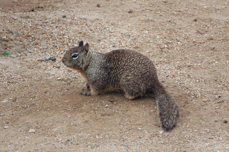 4609 Ground Squirrel.jpg