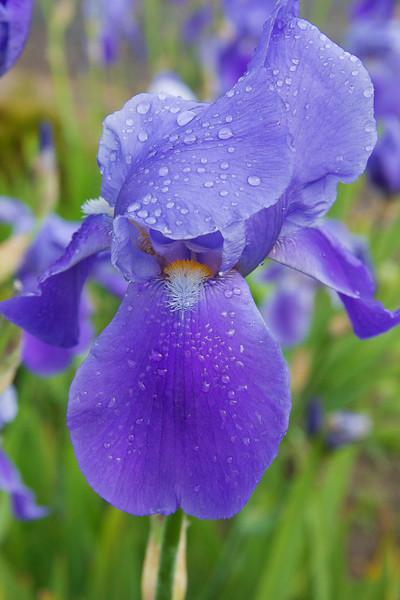 Palouse iris 054.jpg