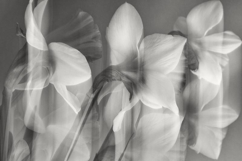daffodils, long exposure
