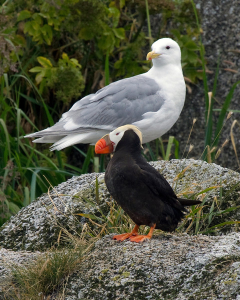 Gull with a crested puffin, Aialik Bay, Alaska