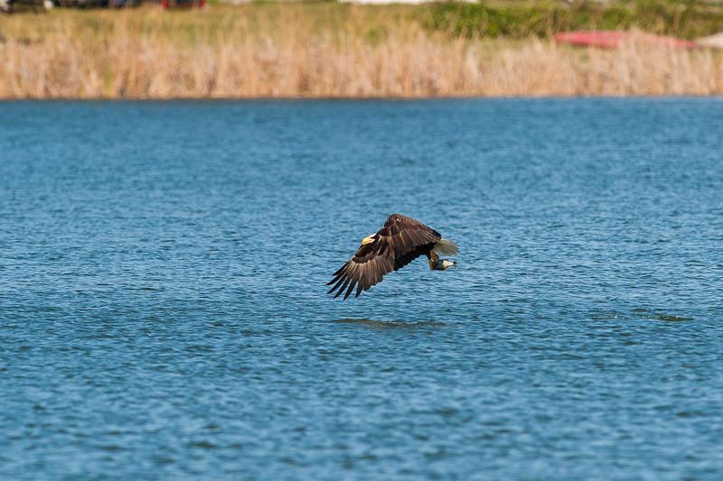 LJ Bald Eagle (2 of 7).jpg
