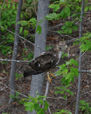 Hawk in RockSprings Park