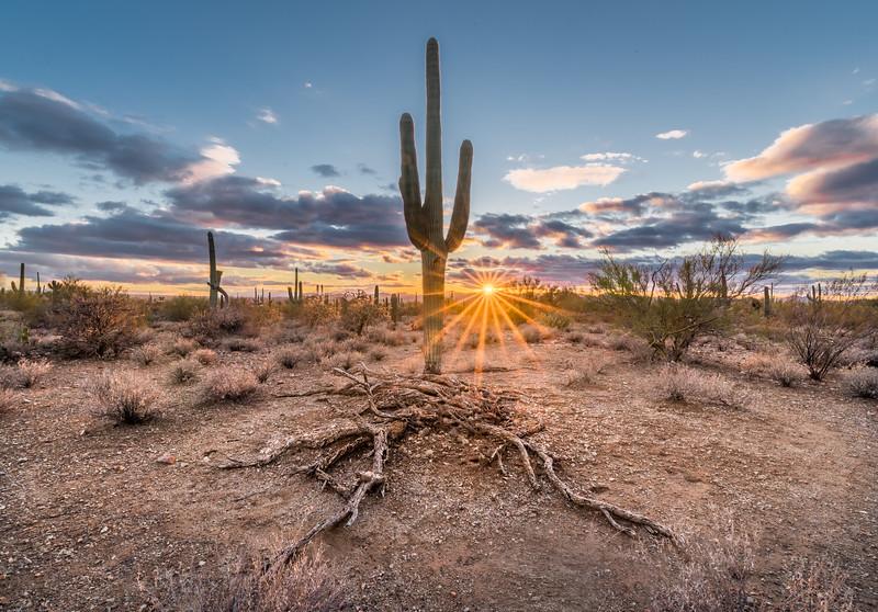 Sunburst & Saguaro w Nurse Tree Remains #1