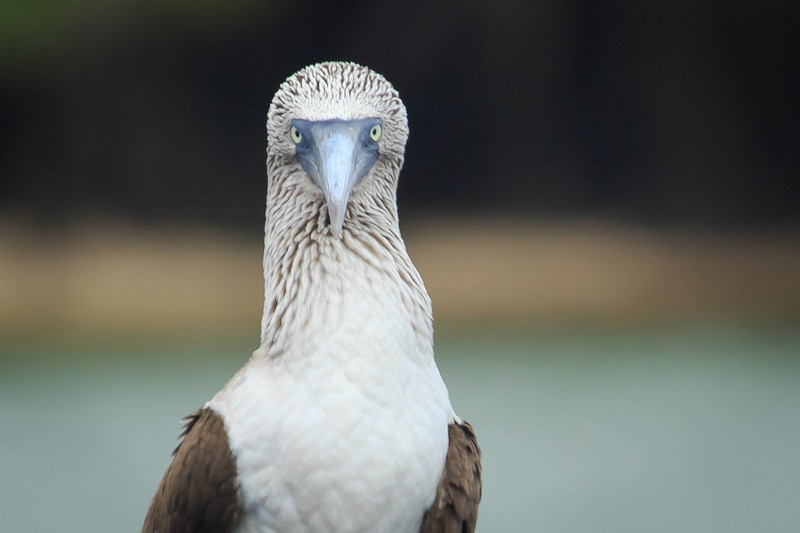 Blue footed Boobie, Galapagos Islands