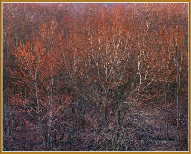 Sunrise on Budding Maple Tress After Rain