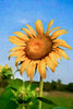Closeup of beautiful sunflower in the summer time.