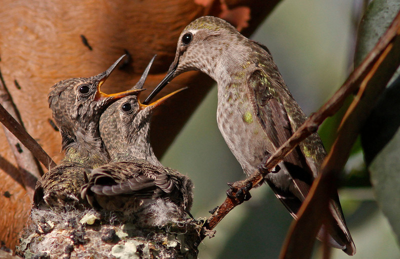 Anna's Hummingbird feeding babies in nest (the nest is the size of a quarter!)