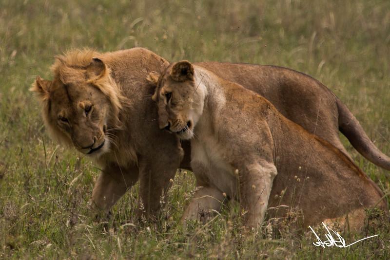 Lions Serengeti - S-9.jpg