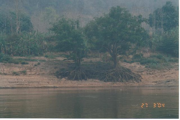 17_Luang_Pradang_Mekong_River_Tree_Roots.jpg