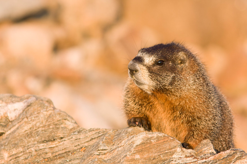 Hoary Marmot, Mt Evans Wilderness