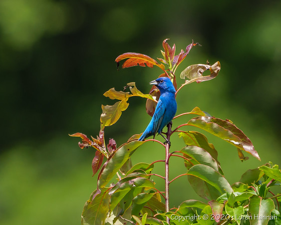 6/6/20 Mason Farms Birding, Chapel Hill, NC