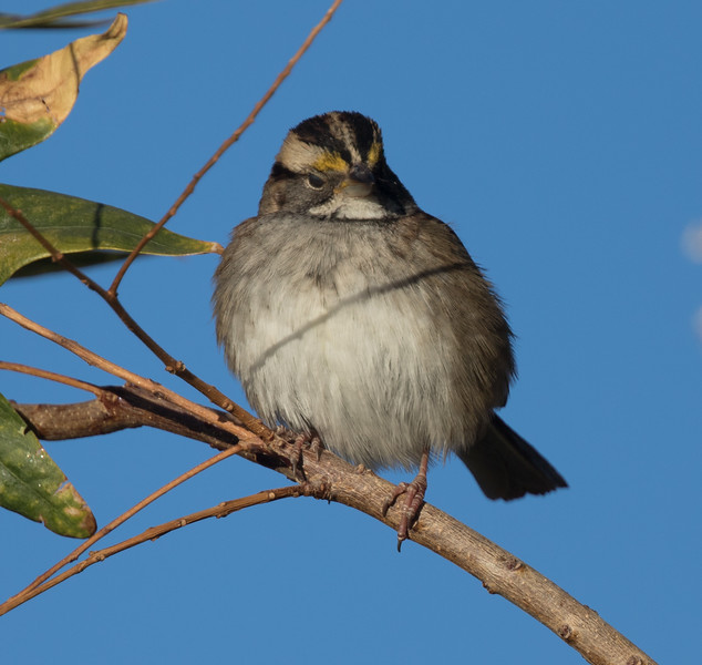 White-throated Sparrow Coso Junction 2018 10 17-8.CR2