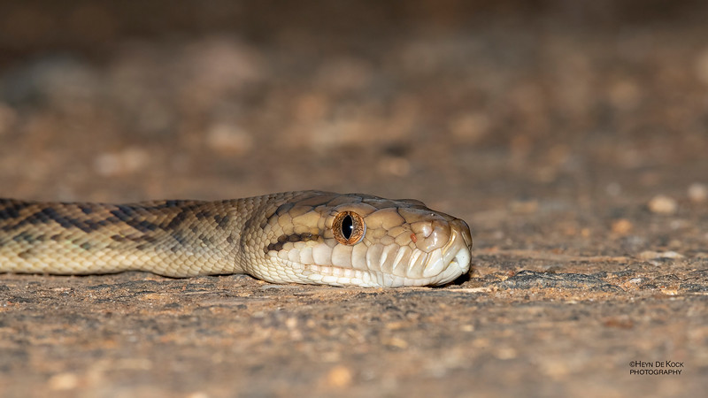 Amethystine Python, Mt Lewis, QLD, Jan 2021-1.jpg
