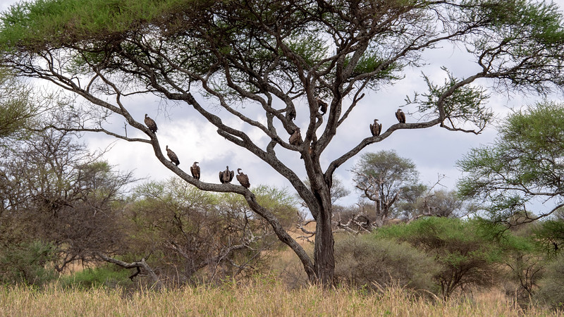 Tanzania-Tarangire-National-Park-Safari-Vulture-01.jpg