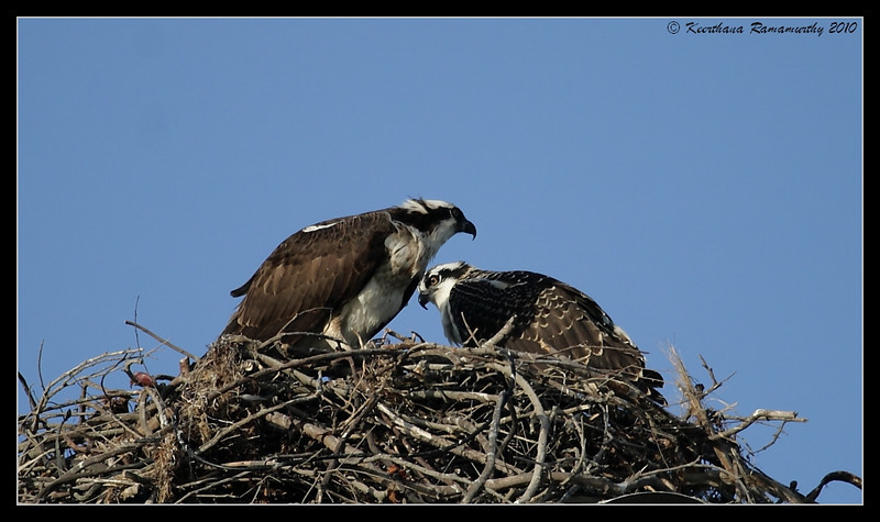 Mother Osprey with juvenile, Robb Field, San Diego River, San Diego County, California, May 2010