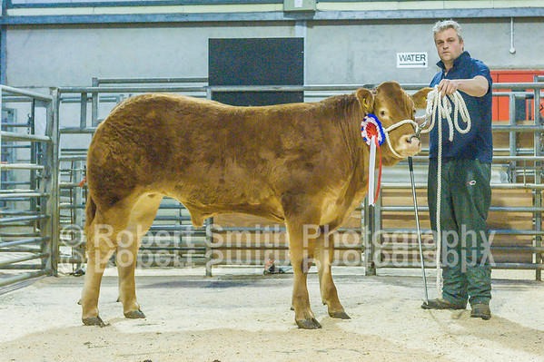 Hexham Mart Limousin store cattle day - October 16th 2015