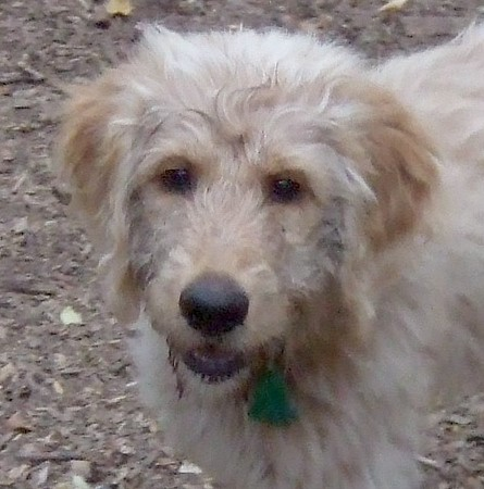 WALLY (goldendoodle)