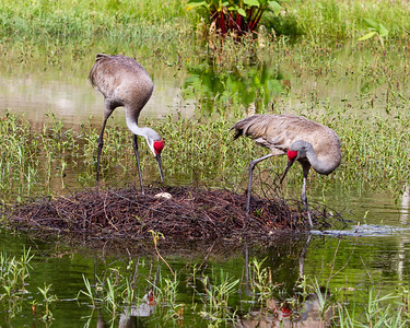 Sandhill Crane Family 2014