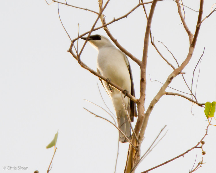 White-bellied Cuckooshrike at Varirata National Park, Papua New Guinea (10-14-2013) 019-142.jpg