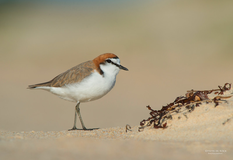 Red-capped Plover, Lake Conjola, NSW, Aus, Sept 2013-4.jpg