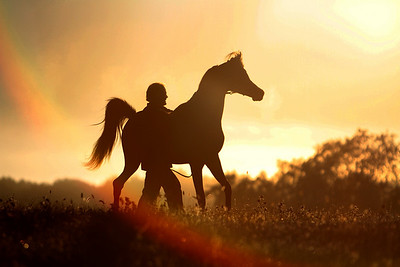 Shada Arabians
