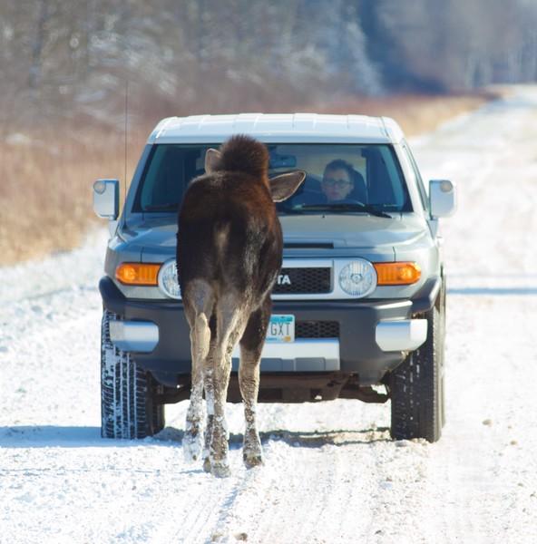 Moose cow November 19 CR47 Sax-Zim Bog MN IMG_9920.jpg
