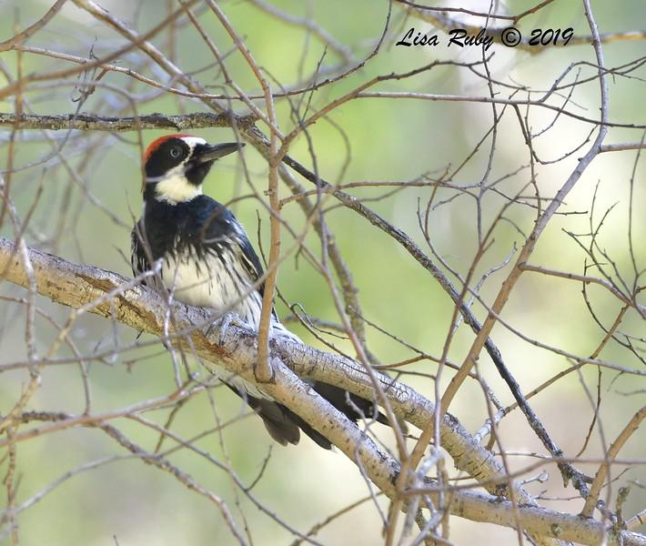 Acorn Woodpecker  - 9/1/2019 - Agua Dulce Creek, Mount Laguna