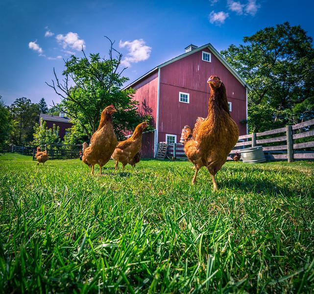 chickens farm 592A0543.jpg