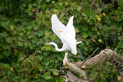 White Egrit
