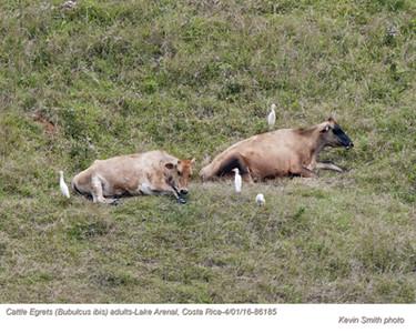 Cattle Egrets A86185.jpg