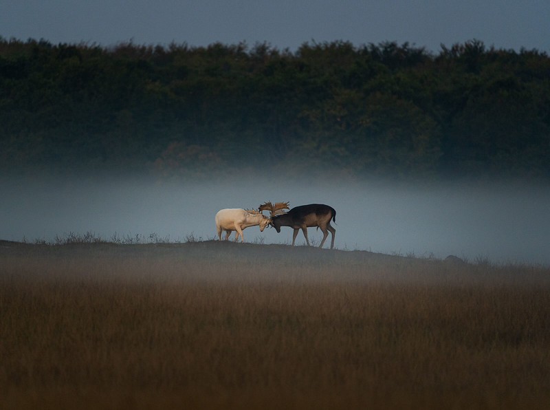deers fighting in the fog.jpg