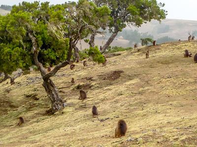 Gelada Monkeys - Exclusive to Ethiopia!