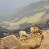 Front Range Ewe