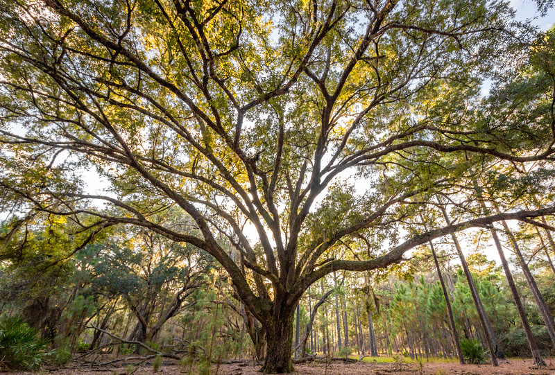 Sprawling live oak at Split Oak Forest
